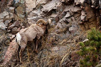 Big_Horn_Sheep_3