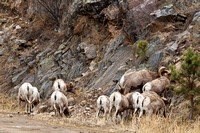 Big_Horn_Sheep_4